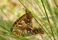 CRANBERRY FRITILLARY, Photo: Daniel Green