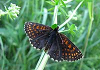 FALSE HEATH FRITILLARY, Photo: Daniel Green