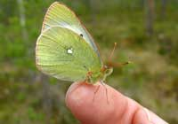 MOORLAND CLOUDED YELLOW, Photo: Daniel Green