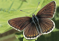 NORTHERN BROWN ARGUS, Photo: Bo Söderström