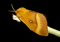 NORTHERN OAK EGGAR, Photo: Daniel Green