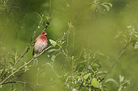 Common Rosefinch, Photo: Magnus Martinsson