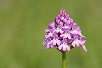 Pyramidal Orchid, Photo: Magnus Martinsson