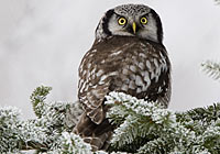 HAWK OWL, Photo: Glyn Sellors